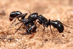 Plectroctena_sp_ants