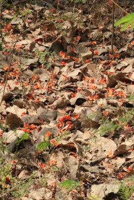 07 palash petals on the forest floor IMG_6587_2