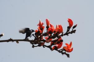 11 have to get it someway a purple sunbird seeking nectarIMG_3315